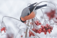 Goudvink man fouragerend – Pyrrhula pyrrhula Eurasion Bullfinch(a)