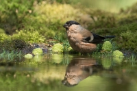 Goudvink vrouw – Pyrrhula pyrrhula Eurasianbullfinch(a)