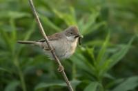 Grasmus met rups – Sylvia communis – Common Whitethroat(a)