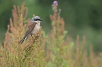Grauwe klauwier man in de regen – Lanius collurio – Red backed Shrike in the rain(a1)