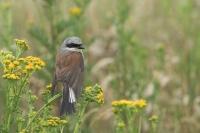 Grauwe klauwier man in de regen – Lanius collurio – Red backed Shrike in therain(a2)