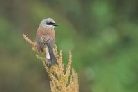 Grauwe klauwier man op zuring – Lanius collurio – Red-backed shrike(a)
