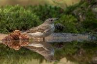 Grauwe vliegenvanger – Muscicapa striata – Spotted Flycatcher(a)