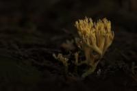Groenwordende koraalzwam – Ramaria abietina – Greening Coral(1)