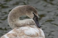 Knobbelzwaan juveniel – Cygnus olor – Mute Swan(a)