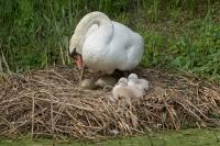 Knobbelzwaan met 2 jongen en 2 eieren – Cygnus olor – Mute Swan with two eggs and two young Swans(a)