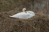 Knobbelzwaan op het nest – Cygnus olor – Mute Swan(a)