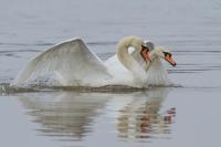 Knobbelzwaan paringsritueel – Cygnus olor – Mute Swan(a)