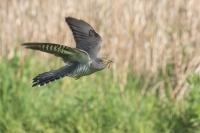 Koekoek in de vlucht – Cuculus canorus Linnaeus – Cuckoo(a3)