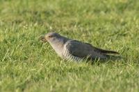 Koekoek met emelt – Cuculus canorus Linnaeus – Cuckoo(a)