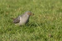 Koekoek met emelt – Cuculus canorus Linnaeus – Cuckoo(a1)