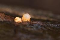 Kogelwerper – Sphaerobolus stellatus – Canonball Fungus(a2)jpg