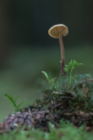 Oorlepelzwam – Auriscalpium vulgare – Earpick Fungus(a5)