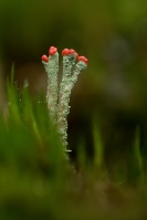 Rode heidelucifer – Cladonia floerkeana – Bengal Match Lichen(a2)