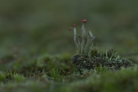 Rode heidelucifer – Cladonia floerkeana – Bengal Match Lichen(a4)