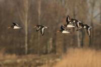 Scholeksters in de vlucht – Haematopus ostralegus – Eurasian Oystercatcher(a)