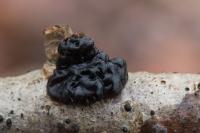 Zwarte trilzwam – Exidia plana(a)