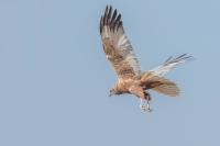 Bruine kiekendief man in de vlucht – Circus aeruginosus – Western Marsh Harrier(a1)