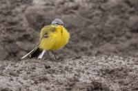 Gele kwikstaart man – Motacilla flava – Western Yellow Wagtail(b)