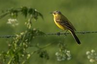 Gele kwikstaart man – Motacilla flava – Western Yellow Wagtail(b1)