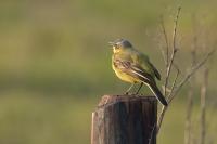 Gele kwikstaart man zingend – Motacilla flava – Western Yellow Wagtail(a)