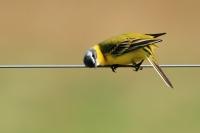 Gele kwikstaart – Motacilla flava – Western Yellow Wagtail(a1)