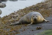 Gewone zeehond aan de kust – Phoca vitulina – Habor seal(a1)
