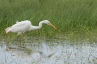 Grote zilverreiger foeragerend – Ardea alba – Great Egret(a)