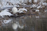 Grote zilverreiger spiedend – Ardea alba -Great egret(a2)