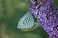 Klein geaderd witje paring – Pieris napi – Green-veinedwhite(a)