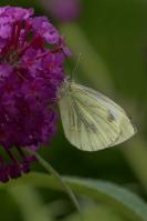 Klein geaderd witje – Pieris napi – Green-veinedwhite(3)