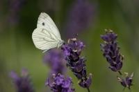 Klein geaderd witje – Pieris napi – Green-veinedwhite(a1)