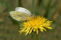 Klein geaderd witje – Pieris napi – Green-veinedwhite(b)
