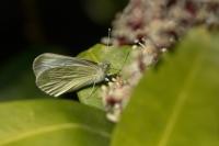 Klein geaderd witje – Pieris napi – Green-veinedwhite(b1)