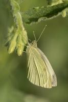 Klein geaderd witje – Pieris napi – Green-veinedwhite(b2)