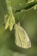 Klein geaderd witje – Pieris napi – Green-veinedwhite(b4)