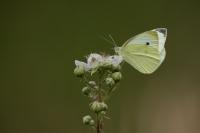 Klein koolwitje – Pieris Rapae – Small White(a1)
