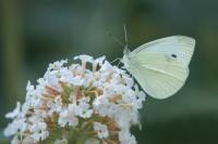 Klein koolwitje – Pieris Rapae – Small White(a3)