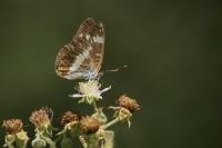 Kleine ijsvogelvlinder – Limenitis camilla – WhiteAdmiral(a)