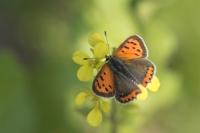 Kleine vuurvlinder – Lycaena phlaeas – Small Copper(b1)