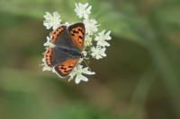 Kleine vuurvlinder – Lycaena phlaeas – Small Copper(b3)
