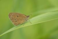 Koevinkje – Aphantopus hyperantus – Ringlet(a1)