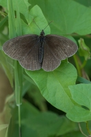 Koevinkje – Aphantopus hyperantus – Ringlet(a2)