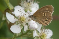 Koevinkje op braambloesem – Aphantopus hyperantus – Ringlet(a)