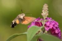 Kolibrievlinder – Macroglossum stellatarum – Hummingbird hawk moth(a1)