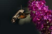 Kolibrievlinder – Macroglossum stellatarum – Hummingbird hawk moth(a10)