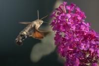 Kolibrievlinder – Macroglossum stellatarum – Hummingbird hawk moth(a1)17-09-2018