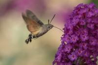 Kolibrievlinder – Macroglossum stellatarum – Hummingbird hawk moth(a)17-09-2018