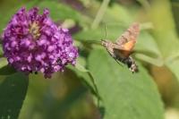 Kolibrievlinder – Macroglossum stellatarum – Hummingbird hawk moth(a2)
