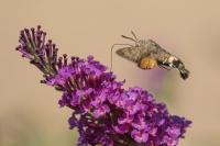 Kolibrievlinder – Macroglossum stellatarum – Hummingbird hawk moth(a3)